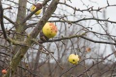 Μήλα σε ένα δέντρο χωρίς φύλλα Στοκ φωτογραφία με δικαίωμα ελεύθερης χρήσης