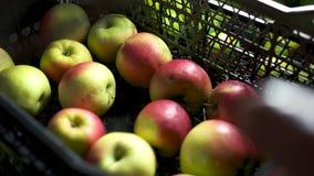 Μήλα σε ένα κλουβί απόθεμα βίντεο