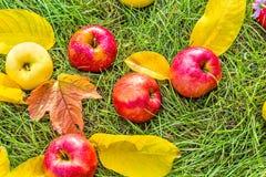 Μήλα στην πράσινη χλόη μεταξύ των φύλλων φθινοπώρου Στοκ Φωτογραφίες