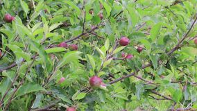 Μήλα στο άγριο δέντρο απόθεμα βίντεο