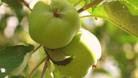 Μήλα στο δέντρο Κινηματογράφηση σε πρώτο πλάνο Πράσινα μήλα στον κλάδο τα όμορφα μήλα ωριμάζουν στο δέντρο Γεωργική επιχείρηση απόθεμα βίντεο