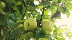 Μήλα στο δέντρο Κινηματογράφηση σε πρώτο πλάνο Πράσινα μήλα στον κλάδο τα όμορφα μήλα ωριμάζουν στο δέντρο Γεωργική επιχείρηση φιλμ μικρού μήκους