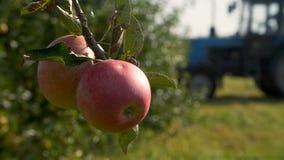 Μήλα συγκομιδής τρακτέρ σε έναν οπωρώνα απόθεμα βίντεο