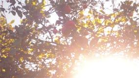 Μήλα φθινοπώρου σε έναν κλάδο δέντρων στον κήπο Δέντρο της Apple το βράδυ απόθεμα βίντεο
