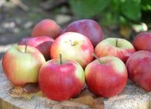 Μήλα φθινοπώρου, φύλλα φθινοπώρου, οργανικά φρέσκα όμορφα κόκκινα μήλα σε ένα χωριό σε έναν κήπο σε μια ξύλινη επιφάνεια Στο α Στοκ Εικόνες