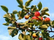 μήλα ώριμα Στοκ εικόνα με δικαίωμα ελεύθερης χρήσης