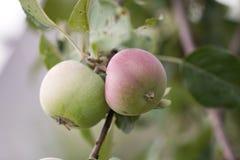 μήλα ώριμα Στοκ εικόνες με δικαίωμα ελεύθερης χρήσης
