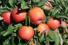 μήλα jonagold Στοκ φωτογραφία με δικαίωμα ελεύθερης χρήσης