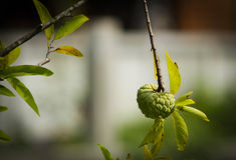 Μήλο ζάχαρης Στοκ φωτογραφία με δικαίωμα ελεύθερης χρήσης