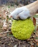 Μήλο και σκυλί φρακτών Στοκ φωτογραφία με δικαίωμα ελεύθερης χρήσης