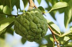 Μήλο κρέμας στο δέντρο Στοκ Φωτογραφία