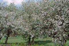 μήλο που ανθίζει διάφορα &d στοκ φωτογραφία με δικαίωμα ελεύθερης χρήσης