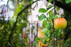 Μήλο που καλύπτεται ώριμο από τις σταγόνες βροχής στον κλάδο δέντρων της Apple Στοκ εικόνα με δικαίωμα ελεύθερης χρήσης
