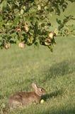 μήλο που τρώει το κουνέλ&iot Στοκ φωτογραφία με δικαίωμα ελεύθερης χρήσης