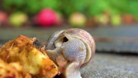 Μήλο σαλιγκαριών τρώγοντας κοντά επάνω απόθεμα βίντεο