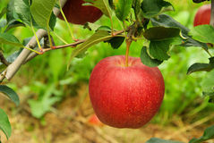 Μήλο στο δέντρο Στοκ εικόνα με δικαίωμα ελεύθερης χρήσης