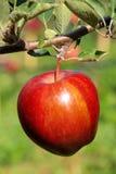 Μήλο στο δέντρο Στοκ φωτογραφία με δικαίωμα ελεύθερης χρήσης
