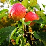 Μήλο το φθινόπωρο Στοκ Φωτογραφίες