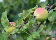 μήλο, φρούτα, δέντρο, κλάδος, πράσινος, τρόφιμα, μήλα, κήπος, φύση, κόκκινο, φύλλο, φύλλα, υγιή, οπωρώνας, καλοκαίρι, ώριμο, γεωρ Στοκ φωτογραφία με δικαίωμα ελεύθερης χρήσης