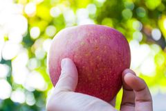 μήλο ώριμο Στοκ Εικόνα