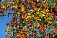 Μήλο 07 Στοκ Εικόνες