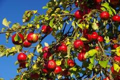 Μήλο 12 Στοκ εικόνα με δικαίωμα ελεύθερης χρήσης