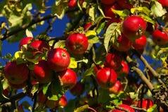 Μήλο 14 Στοκ εικόνες με δικαίωμα ελεύθερης χρήσης