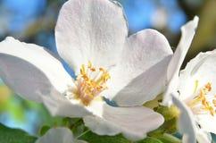 μήλων ρηχός επάνω πεδίων βάθους ανθών στενός Στοκ Φωτογραφία