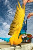 4 μήνες μπλε και κίτρινου Macaw, όμορφα φτερά χρώματος Στοκ φωτογραφία με δικαίωμα ελεύθερης χρήσης