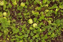 μήλα κάτω από ένα δέντρο σε έναν οπωρώνα στοκ εικόνα