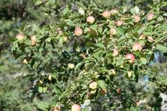 Μήλα καβουριών σε ένα δέντρο μηλιάς στοκ εικόνες