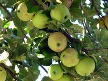 Μήλα καβουριών Στοκ εικόνα με δικαίωμα ελεύθερης χρήσης