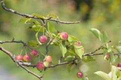 Μήλα καβουριών Στοκ Εικόνα