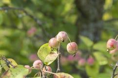 Μήλα καβουριών Στοκ φωτογραφία με δικαίωμα ελεύθερης χρήσης