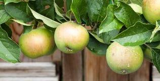 Μήλα και φύλλα ενός Espalliered Swayzie Apple Στοκ Φωτογραφία