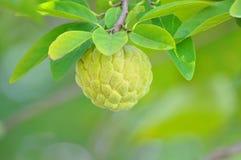 Μήλα κρέμας Στοκ Φωτογραφία
