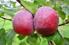 Μήλα κρασιού Στοκ εικόνες με δικαίωμα ελεύθερης χρήσης