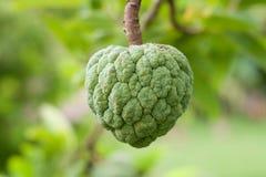 Μήλα μήλων ή ζάχαρης κρέμας ή squamosa Annona Στοκ Εικόνες