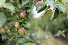 Μήλα που αυξάνονται στα δέντρα Στοκ Φωτογραφία
