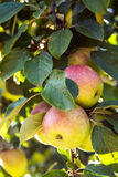 Μήλα που αυξάνονται στο δέντρο της Apple το καλοκαίρι Στοκ εικόνα με δικαίωμα ελεύθερης χρήσης