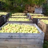 Μήλα πτώσης φρέσκα από τα δέντρα Στοκ Φωτογραφίες