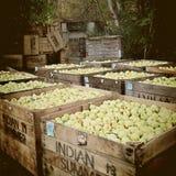 Μήλα πτώσης φρέσκα από τα δέντρα Στοκ Εικόνα