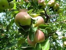 Μήλα σε έναν κλάδο Στοκ Φωτογραφίες