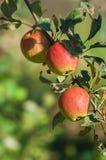 Μήλα σε έναν κλάδο Στοκ Εικόνες
