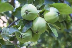 Μήλα σε έναν κλάδο Apple-δέντρων Στοκ Εικόνα