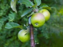 Μήλα σε έναν κλάδο Apple-δέντρων Στοκ εικόνες με δικαίωμα ελεύθερης χρήσης