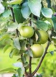 Μήλα σε έναν κλάδο Apple-δέντρων Στοκ εικόνα με δικαίωμα ελεύθερης χρήσης