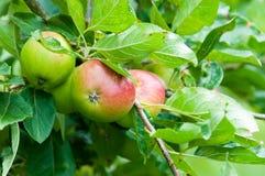 Μήλα σε ένα δέντρο Στοκ εικόνα με δικαίωμα ελεύθερης χρήσης