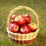 Μήλα σε ένα ψάθινο καλάθι σε μια χλόη, σε έναν ήλιο βραδιού Στοκ Εικόνα