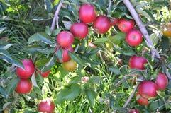 Μήλα στα μήλα Στοκ Φωτογραφία